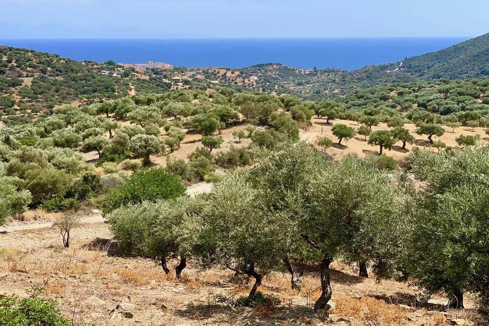 Olivenbäume Mietwagenrundreise Peloponnes