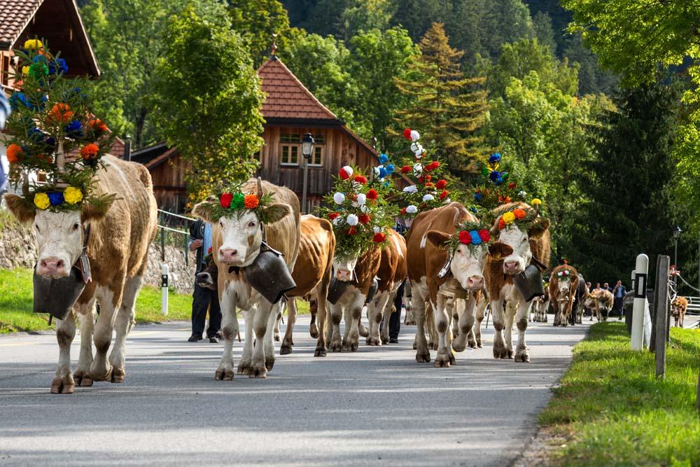 Fribourg Kühe Malerische Schweiz Autorundreise