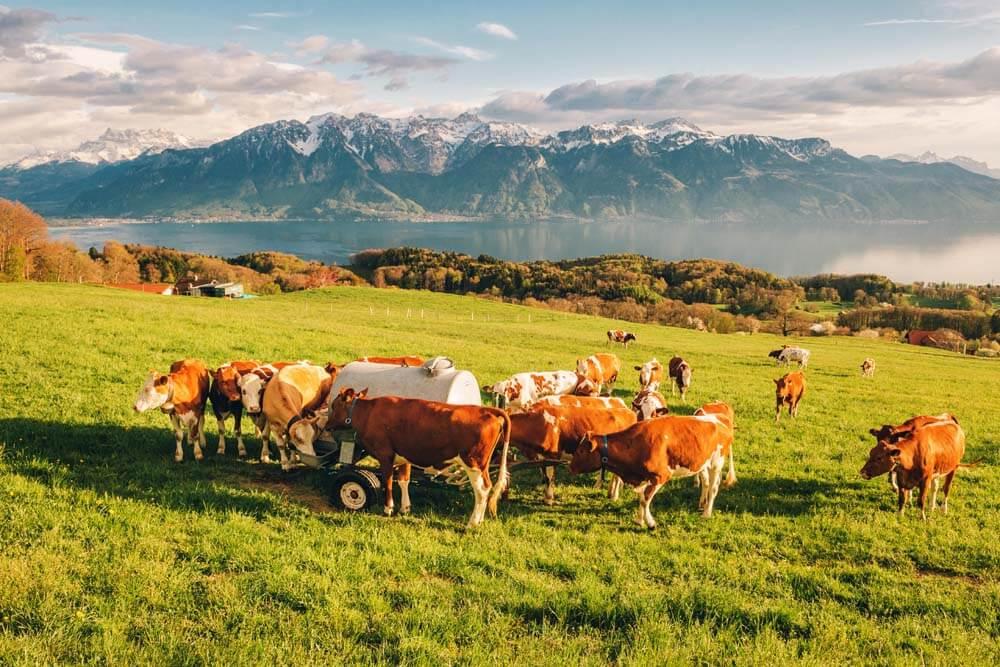 Kühe am Genfersee Malerische Schweiz Autorundreise